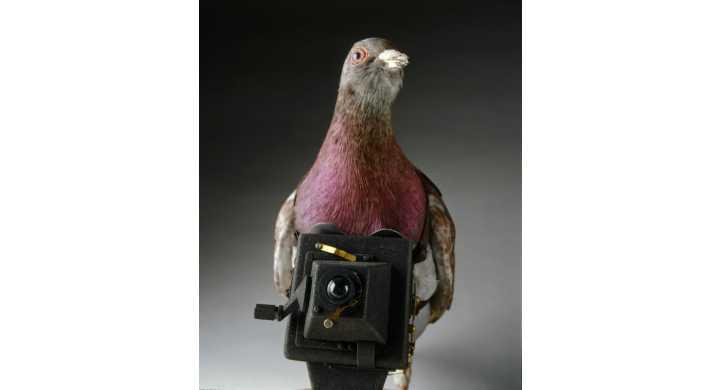 Porumbelul spion